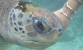 T is for Turtles: Facts About Sea Turtles