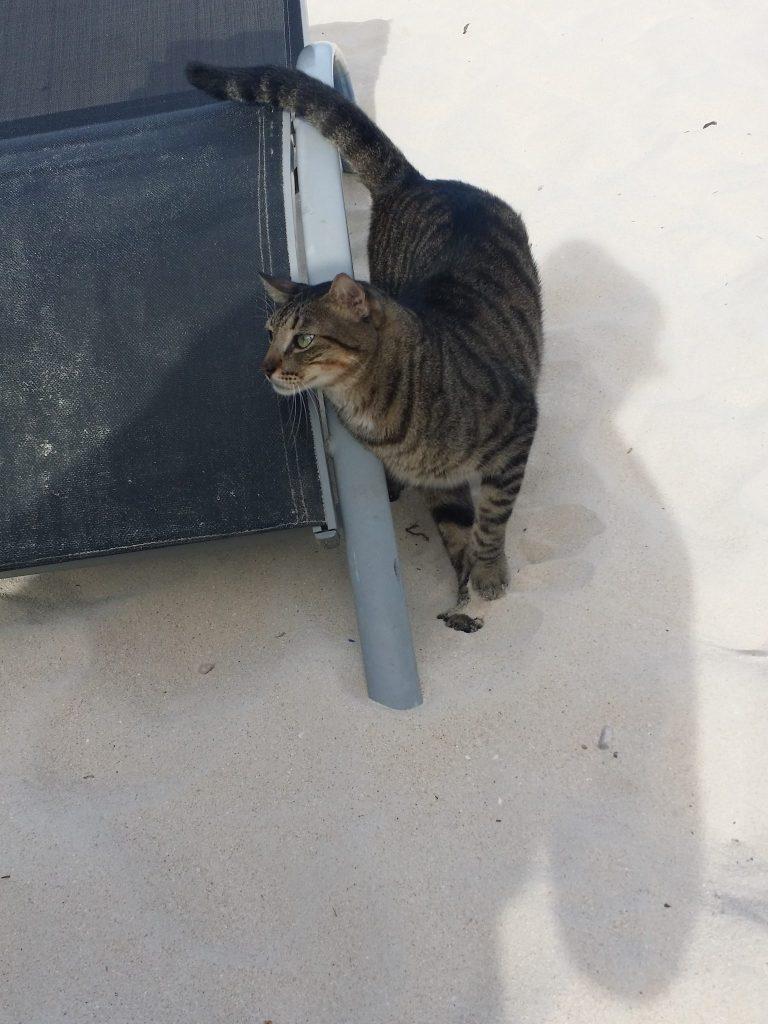 Roatan Cat