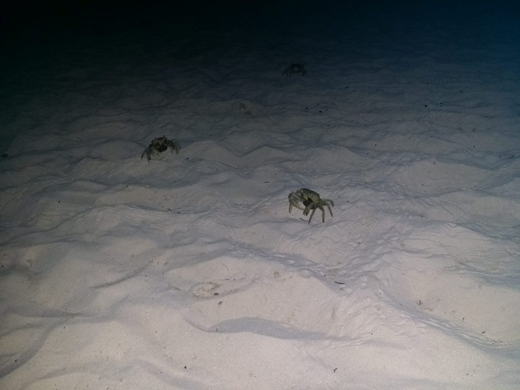 Beach Crabs at Night